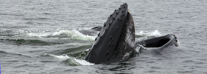 Baleine à bosse en train de manger
